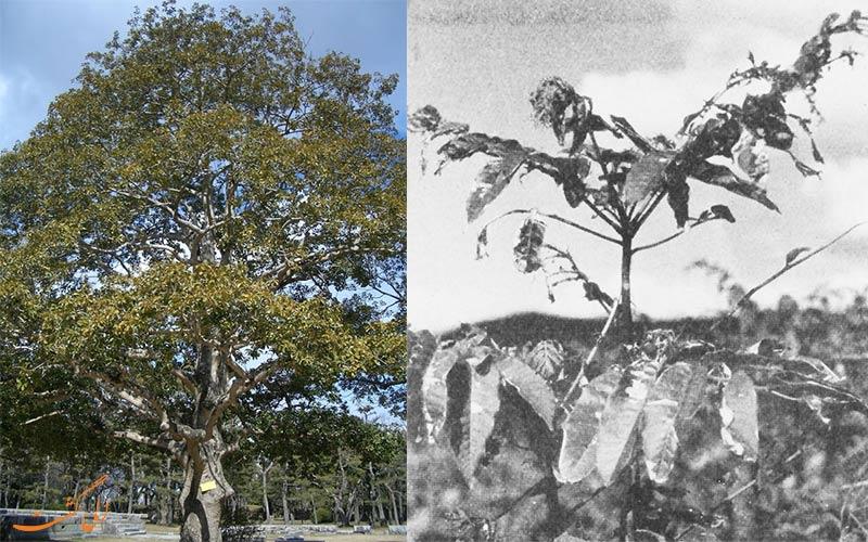 درخت بازماندگان بمب اتمی هیروشیما