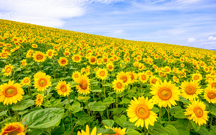 گل آفتان گردان