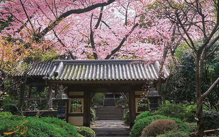 شکوفه های گیلاس نوید بخش فصل بهار در ژاپن