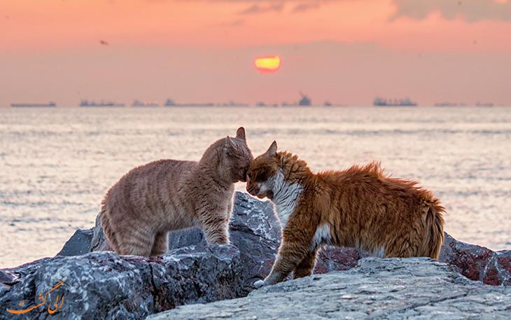 گربه استانبول