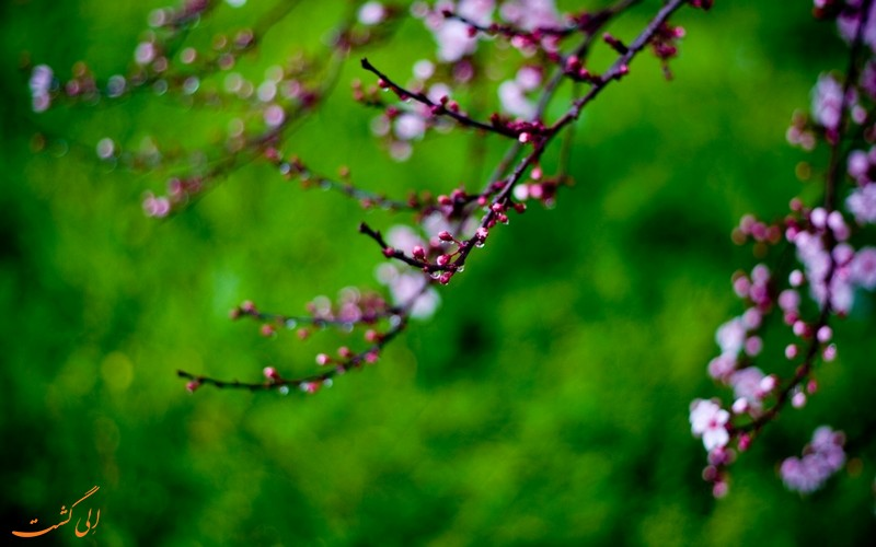 جوانه های درختان