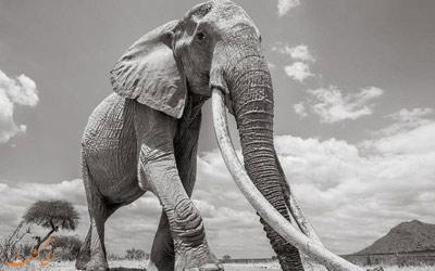 عکس های ملکه فیل ها قبل از مرگ