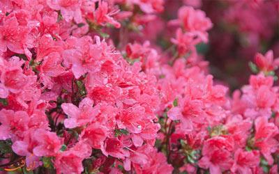 فستیوال گل های بهاری در دنیا