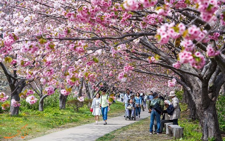 فستیوال شکوفه های گیلاس ژاپن