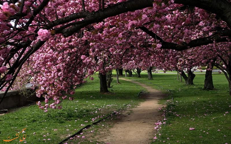 شکوفه های گلاس در پارک میل ریور
