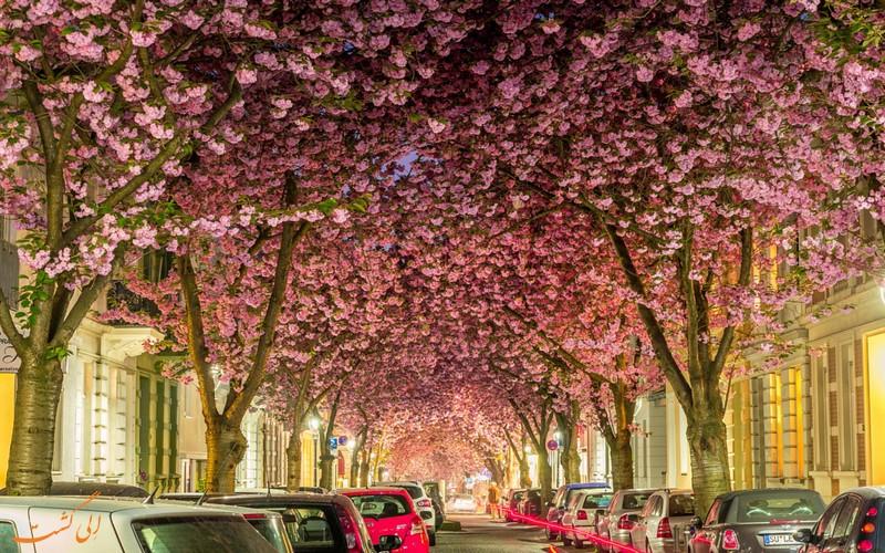 شکوفه ها در خیابان