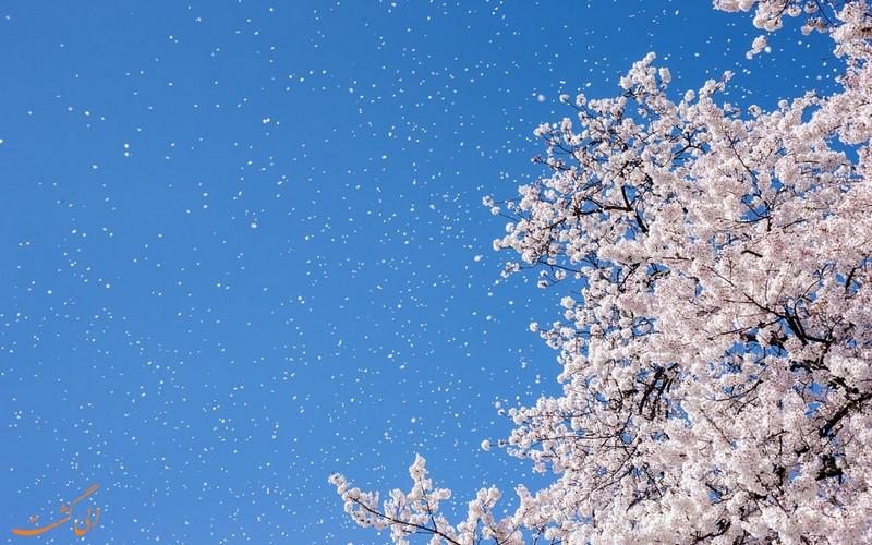 شکوفه های سفید در آسمان