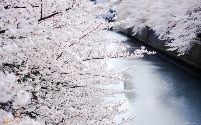 شکوفه های سفید