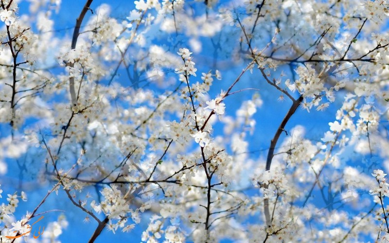 شکوفه های گلاس