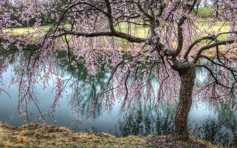 شکوفه های گیلاس گریان