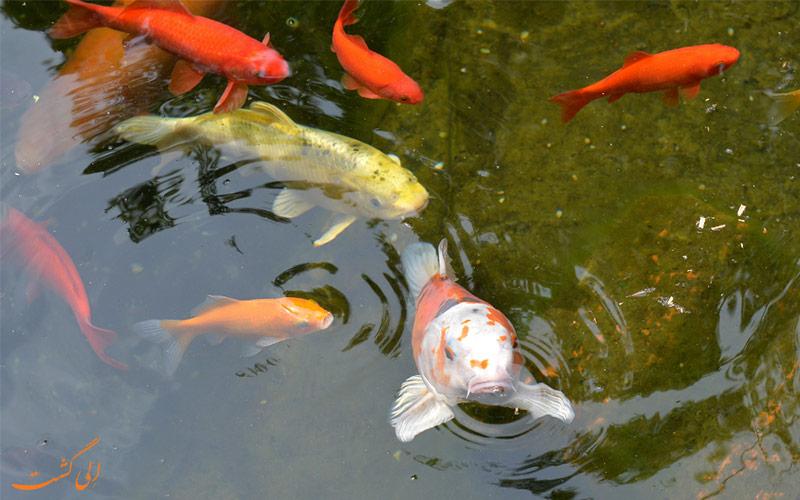 هشدار رهاسازی ماهی قرمز و گلد فیش