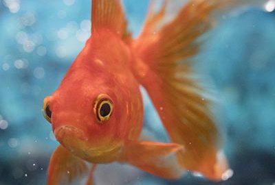 هشدار رهاسازی ماهی قرمز-الی گشت