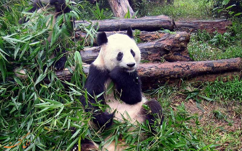 بازدید از پاندا در چین