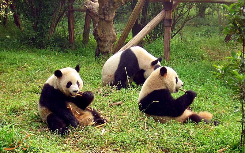 باغ وحش و پاندا در چین