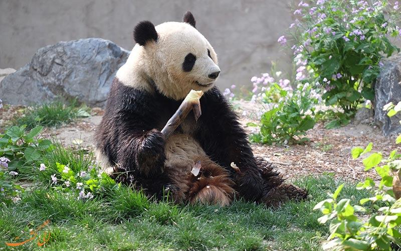 پانداهای بامزه در باغ وحش پکن