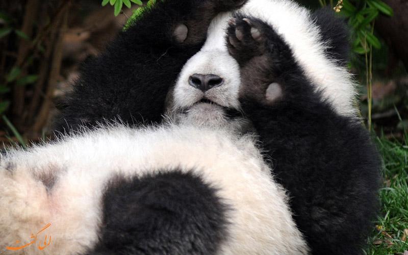 بچه پاندا در چین
