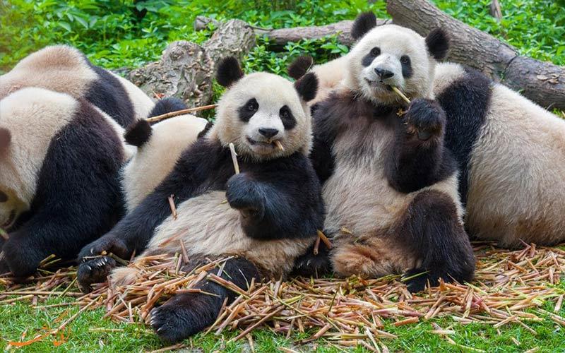 تماشای پاندا در چین