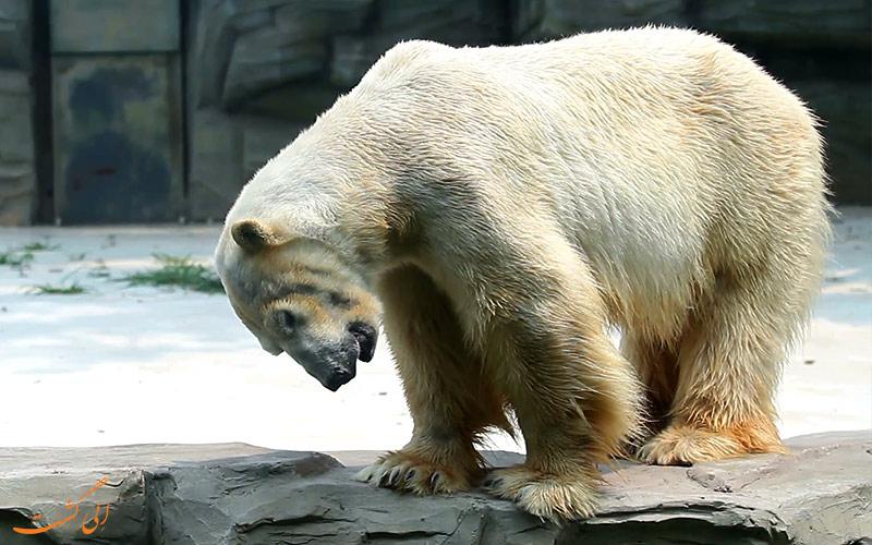 خرس قطبی در باغ وحش پکن