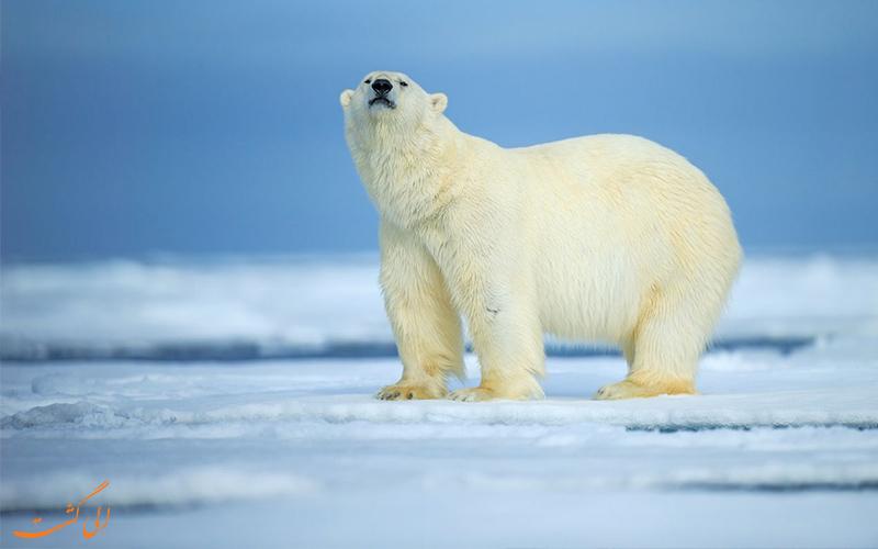 خرس قطبی- خطرناکترین حیوانات روسیه