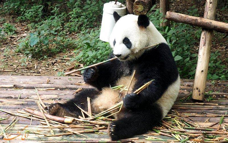 دیدن پاندا در چین و طبیعت