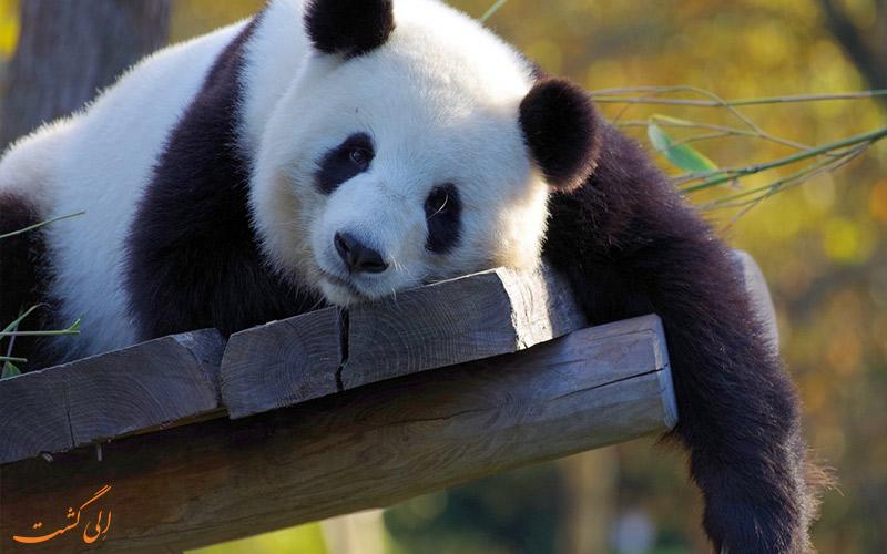 پاندای خواب آلوده در باغ وحش پکن