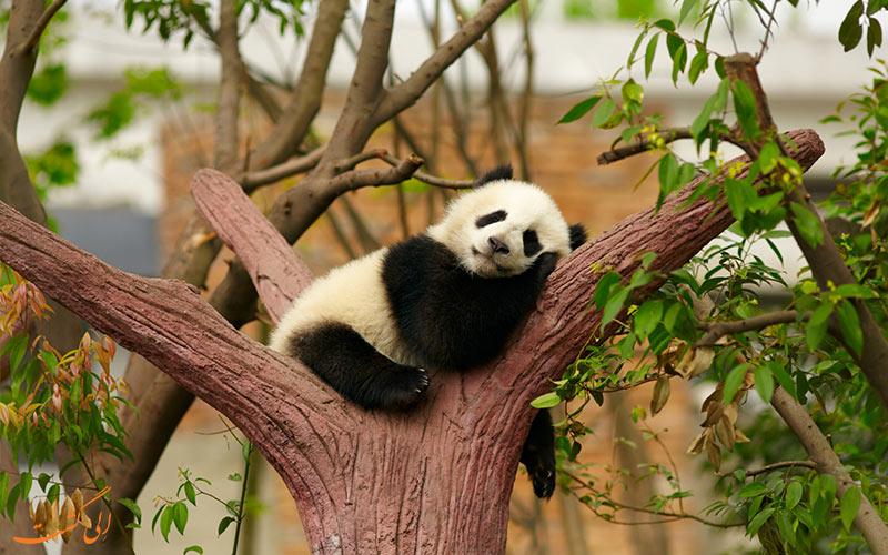 پاندا خواب آلود در باغ وحش پکن