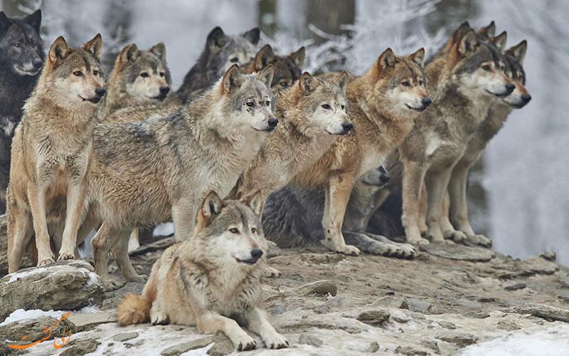 گرگ خاکستری-خطرناکترین حیوانات روسیه
