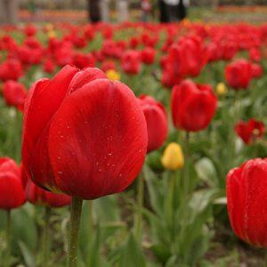 جشنواره گل لاله گچسر