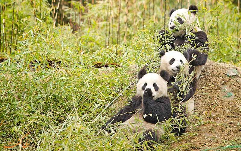 3 پاندا در حیات وحش پارک ملی دره جیوژای چین