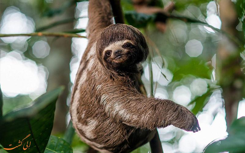 حیوان-تنبل-در-جنگل-های-آمازون-در-پرو