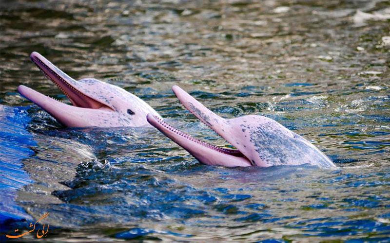 دلفین-های-صورتی-درون-آمازون-در-پرو