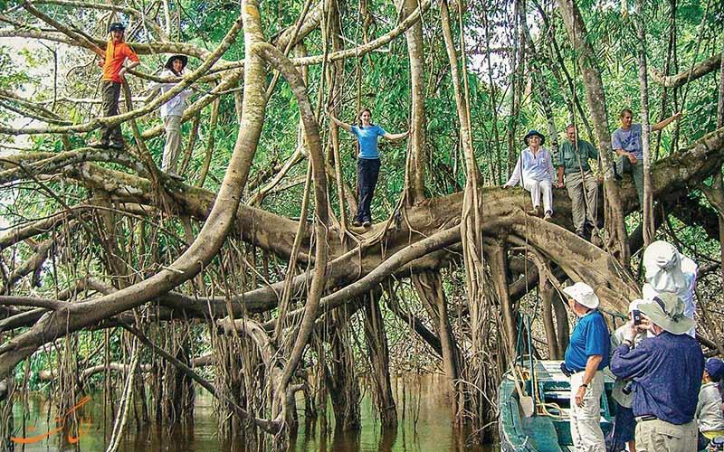 گردشگران-روی-درختان-ریشه-ای-آمازون-در-پرو