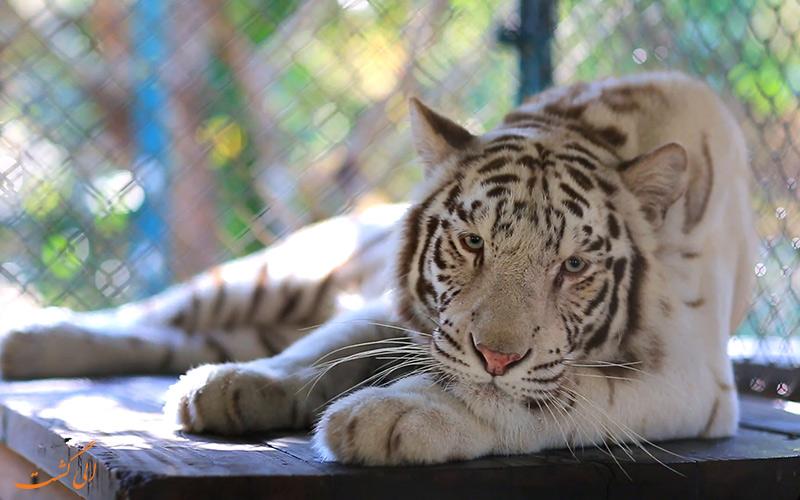 پیشینه باغ وحش تایگر کینگدوم تایلند