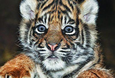 باغ وحش تایگر کینگدوم تایلند ، محل نگهداری ببرها