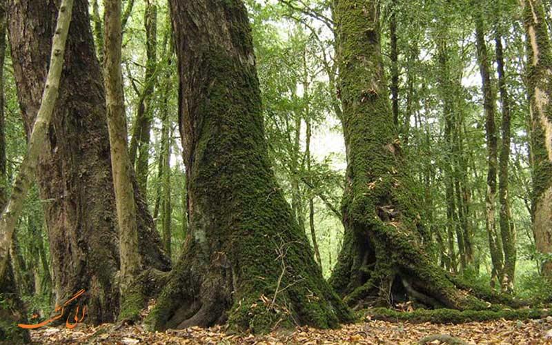 سی سنگان از بکرترین جنگل های شمال