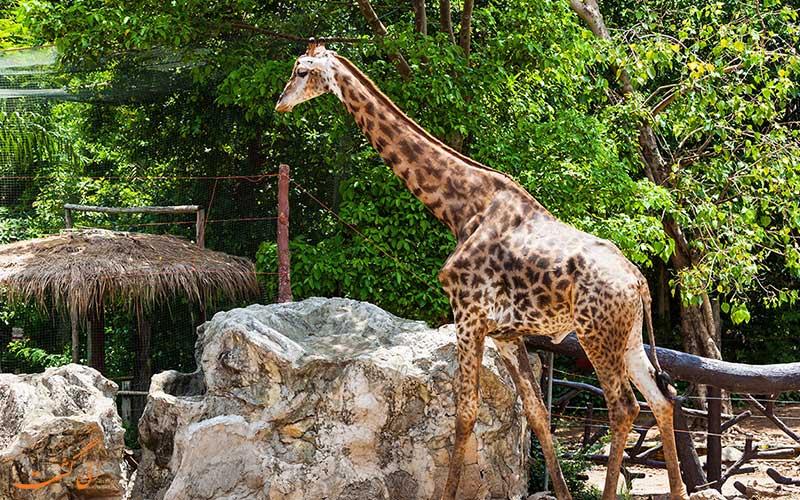 زرافه ای در باغ وحش دوزیت