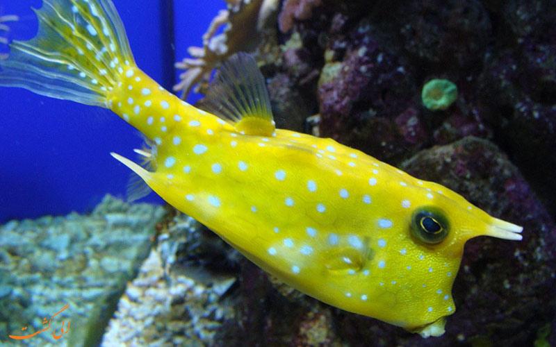 ماهی مربعی در آکواریوم پوکت