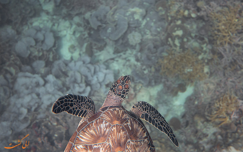 شنای لاک پشت در آب های تمیز اقیانوس هند در مالدیو