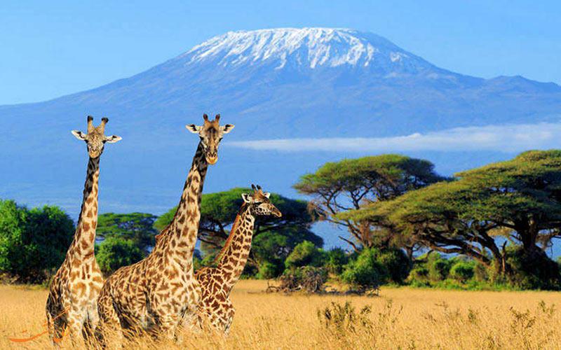 تصویری از چند ضرافه در دشت های کنیا