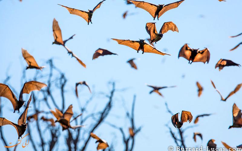 بزرگترین مهاجرت در دنیا مربوط به مهاجرت هوایی خفاش ها می شود