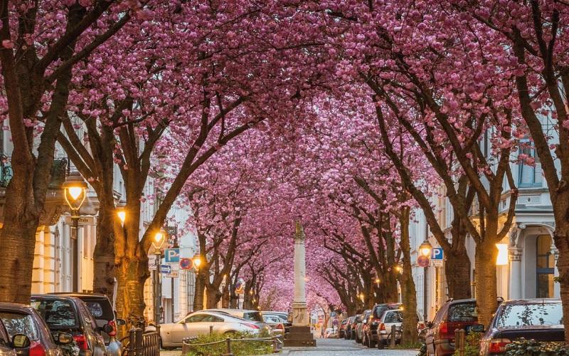 خیابان شکوفه های گیلاس در شهر بن