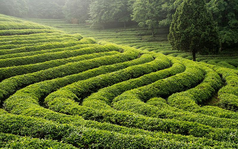 باغ های چای در کره جنوبی
