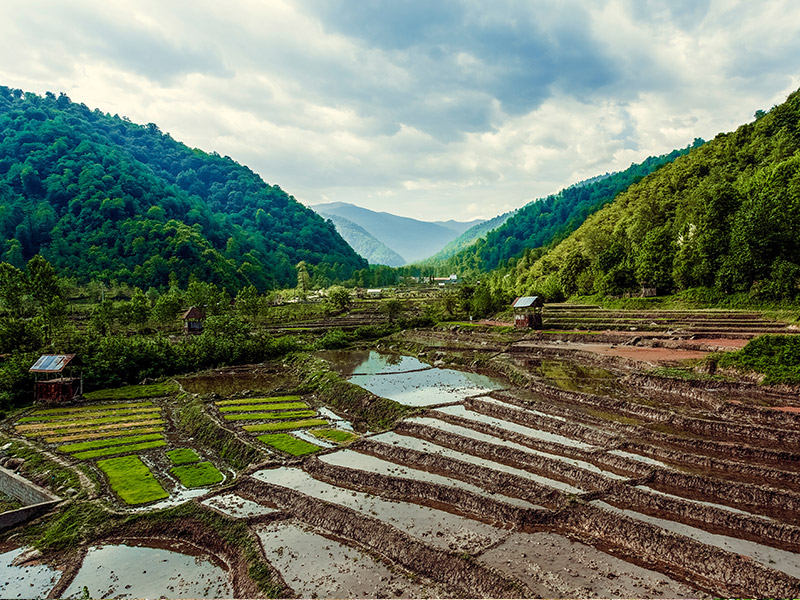 مزارع-برنج-مازندران