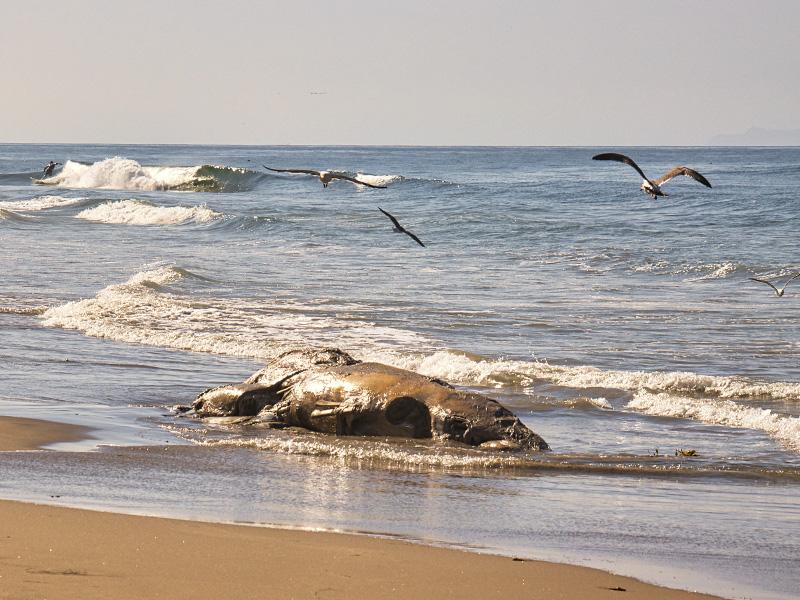 نهنگ مرده در ساحل جزیره کیش