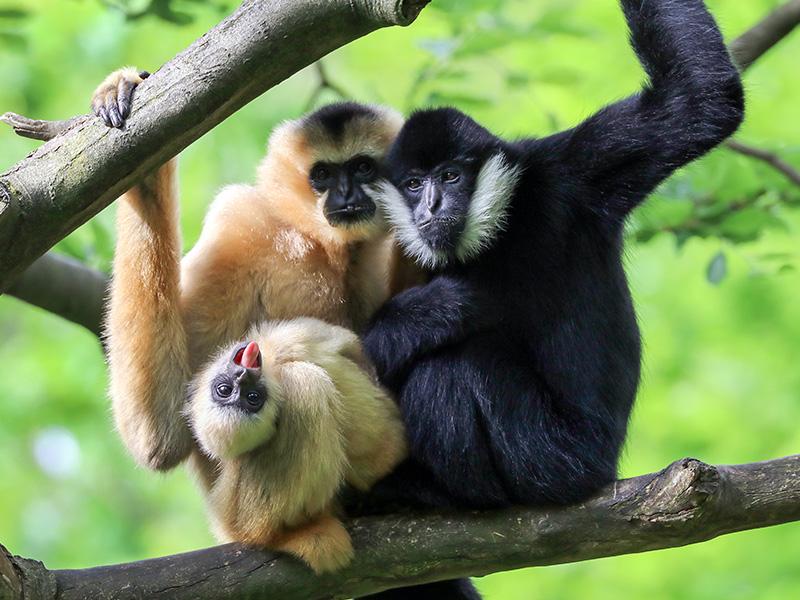 گیبون ها، حیوانات تک همسری